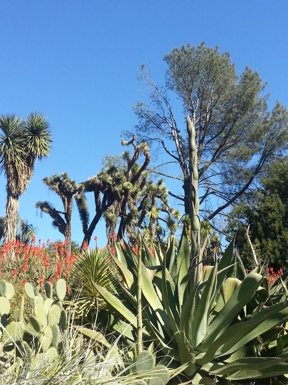 Huntington Library Cactus Garden 12