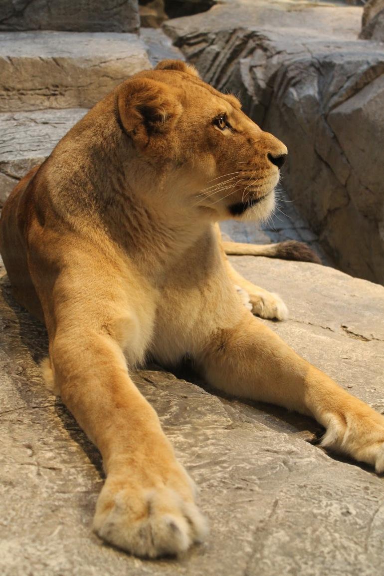 MGM Grand Las Vegas Real Lion