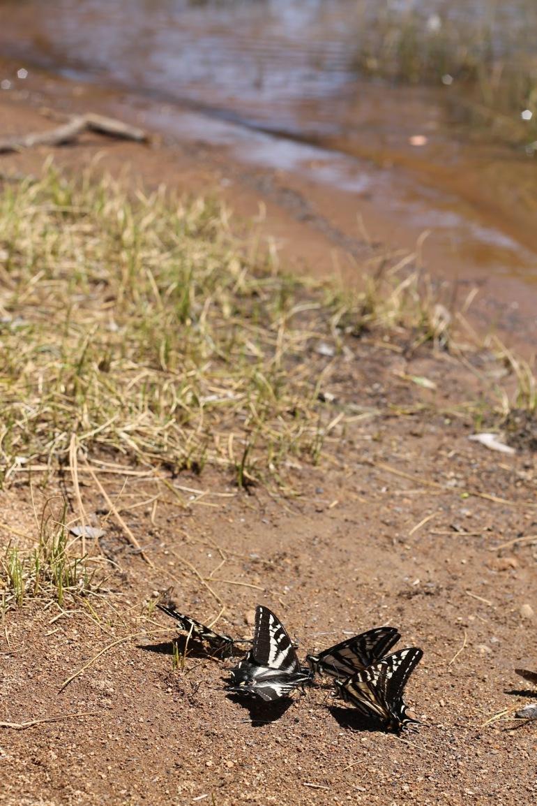 Pollack Pines Girls Weekend Jenkinson Lake Butterflies 1