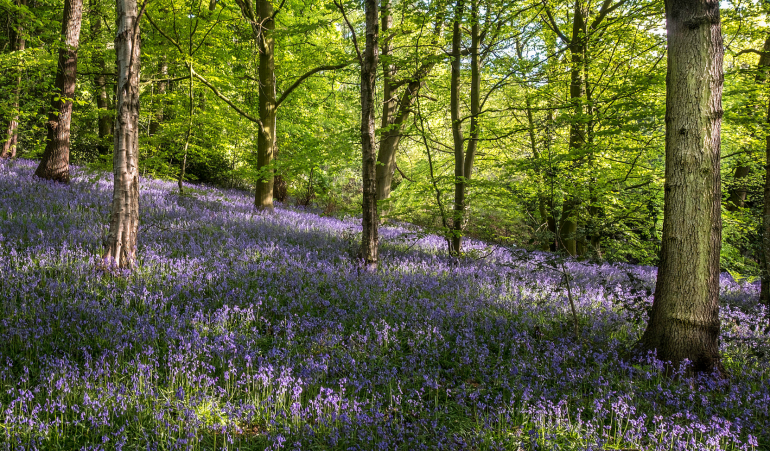 Bluebells Scisset West Yorkshire Peter Smith Flickr