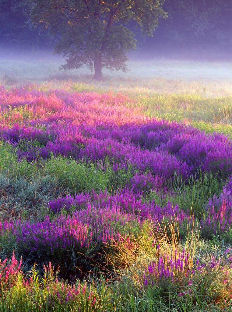 Meadow of Loosestrife zaibatsu Flickr 2012-10-27